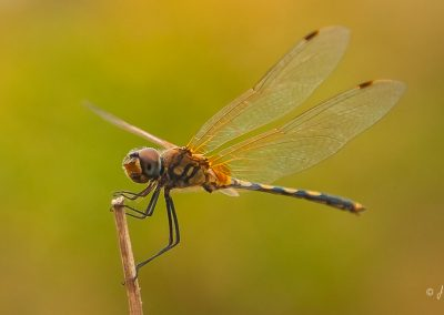 dragonfly-twig-wings-blurry