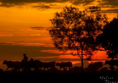 sunset-rural-life-cows-worker
