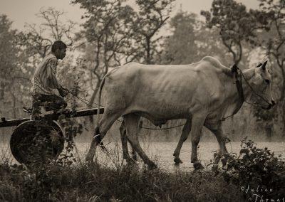 oxcart-rain-lifestyle-cambodia