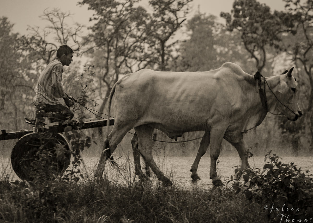 Cambodian man with its oxcart off the beaten tracks during the monsoon season - photography by Julien Thomas.